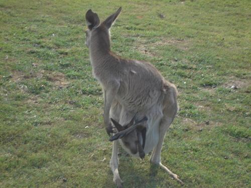 Kangaroo_joey