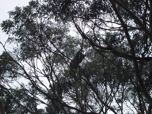 Wild_koala